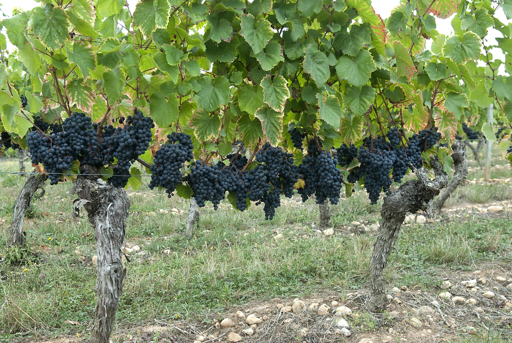 cahors-vineyard